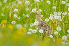 Whimbrel in flower, spring image. Nice bird Whimbrel, Numenius phaeopus, in blurred nice flowers in foreground, Finland. Wildlife Stock Photography