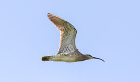 Free Whimbrel - Iceland Stock Images - 76928254