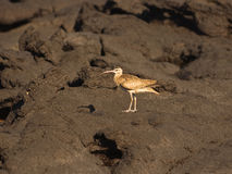 Whimbrel on lava rocks. Whimbrel or Hudsonian Curlew (Numenius phaeopus hudsonicus Stock Images