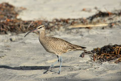 Whimbrel (Numenius phaeopus) Stock Images