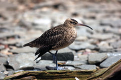 Whimbrel (Numenius Phaeopus) Royalty Free Stock Image