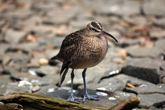 Whimbrel (Numenius Phaeopus) Stock Photos