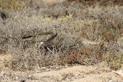 Whimbrel (Numenius Phaeopus) Royalty Free Stock Images