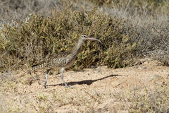 Whimbrel (Numenius Phaeopus) Stock Photography