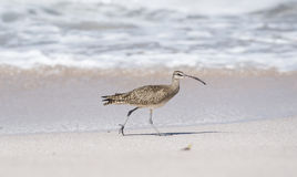 Whimbrel Numenius phaeopus on Beach in Mexico Royalty Free Stock Images