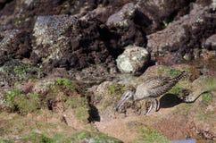 Whimbrel Numenius phaeopus capturing a crab. Playa de Arinaga. Agüimes. Gran Canaria. Canary Islands. Spain Stock Image