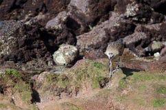 Whimbrel Numenius phaeopus capturing a crab. Playa de Arinaga. Agüimes. Gran Canaria. Canary Islands. Spain Stock Photography