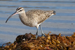 Whimbrel Numenius phaeopus. The whimbrel Numenius phaeopus is a common migratory shorebird found along coastlines throughout North and South America. It uses its Stock Photos