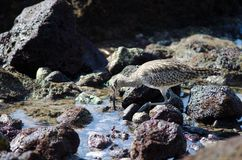 Free Whimbrel Numenius Phaeopus Looking For Preys. Royalty Free Stock Photography - 108939447