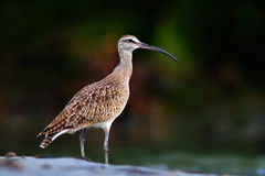 Whimbrel, Numenius phaeopus, nice bird  in blurred nice flowers in foreground, Costa Rica. Bird in the river. Whimbrel in the gree Stock Images