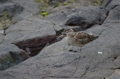 Free Whimbrel Numenius Phaeopus Resting. Stock Images - 108939684