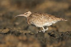 Whimbrel - Numenius phaeopus Stock Photos