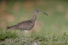 Whimbrel, Numenius phaeopus Royalty Free Stock Photos