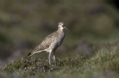 Whimbrel, Numenius phaeopus Stock Photography