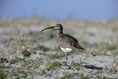 Whimbrel, Numenius phaeopus Stock Photo