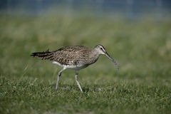 Whimbrel, Numenius phaeopus Royalty Free Stock Photography
