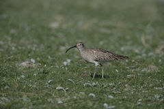 Whimbrel, Numenius phaeopus Royalty Free Stock Images