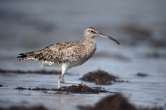 Whimbrel, Numenius phaeopus Stock Images