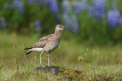 Whimbrel standing on a rock with blurred with blurred violet flowers in Iceland. stock images