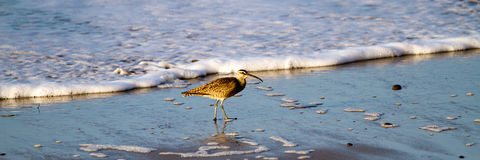 Whimbrel, Numenius phaeopus. Whimbrel in the surf at dawn at Malibu, California Royalty Free Stock Photo