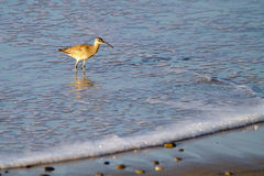Whimbrel, Numenius phaeopus. Whimbrel in the surf at dawn at Malibu, California Stock Images