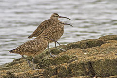 Whimbrel (Numenius Phaeopus) Royalty Free Stock Photo