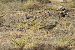 Whimbrel (Numenius Phaeopus) Stock Image