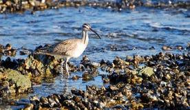 Whimbrel patrzeje dla jedzenia wśród mussels na skalistej linii brzegowej laguna beach, Kalifornia. Obrazy Royalty Free