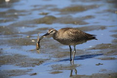 Whimbrel Royalty Free Stock Photos