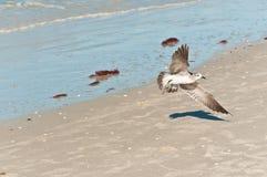 Whimbrel seabird narządzanie lądować Obrazy Stock