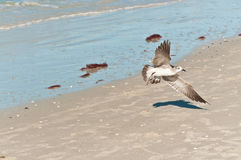 Whimbrel seabird preparing to land. On a deserted tropical shoreline in the Gulf of Mexico on a sunny, winter day Stock Images