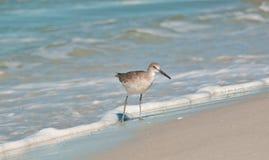Whimbrel seabird on a tropical shoreline. Whimbrel seabird walking on a tropical shoreline on the Gulf of Mexico Stock Photography