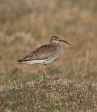Whimbrel Stock Photo