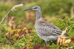 Whimbrel standing in the tundra autumn overcast Stock Photography