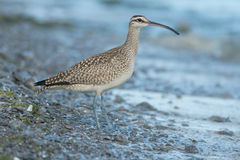 Whimbrel Royalty Free Stock Image