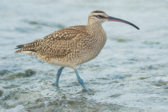 Whimbrel Stock Image