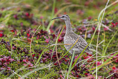 Whimbrel which feeds in the autumn tundra on Bering Stock Images