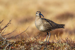 Whimbrel Royalty Free Stock Photography