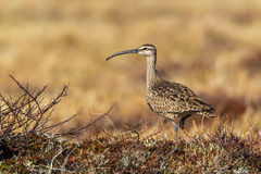 Whimbrel. Worn Adult Whimbrel Foraging on Arctic Tundra Royalty Free Stock Photo