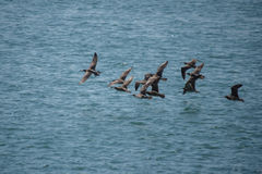 Whimbrels in flight over water Royalty Free Stock Photos