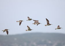 Whimbrels In Flight Royalty Free Stock Photos