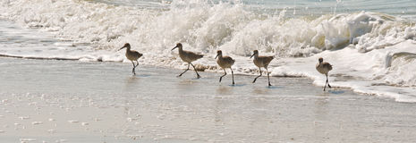 Whimbrels in surf Stock Photography