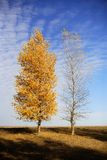 Whims of the nature. Two autumn trees - one with yellow foliage, another without leaves stock photo