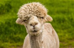 A whimsical apricot Alpaca in Charnwood Forest. A recently sheared, apricot coloured Alpaca with a whimsical expression in Charnwood Forest, UK on a spring day royalty free stock photos