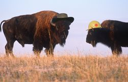 Whimsical composite image of two bison wearing hats on the range Royalty Free Stock Photo