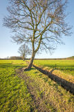 Whimsically shaped crooked tree in the wintry sunlight. Lone trees in pastures. Between the fields is a ditch and around the pastures are fences of wooden posts Stock Photography