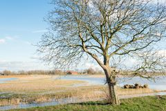 Whimsically shaped tree in the foreground of a flooded polder. In the Netherlands Stock Image