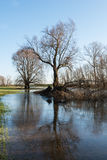 Whimsically shaped trees and a blue sky. Bare trees in early morning light in a Dutch nature reserve with a high water level. It is winter and a thin layer of Stock Images