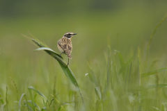 Whinchat Royalty Free Stock Photo