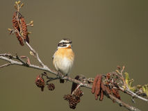 Whinchat Royalty Free Stock Image